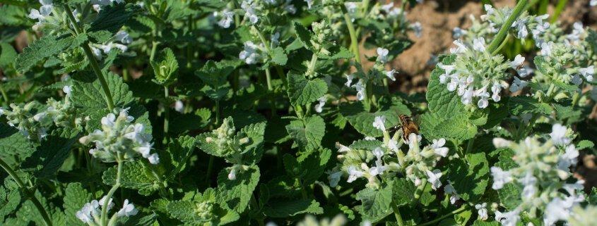 Biene auf Katzenminze