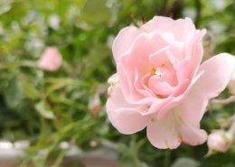 Rosa Rose am Pujaloy