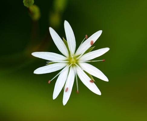 Vogelmiere Blüte
